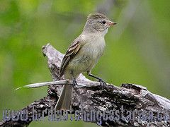[:en]Bird Northern Beardless-Tyrannulet[:es]Ave Mosquerito Chillón[:]