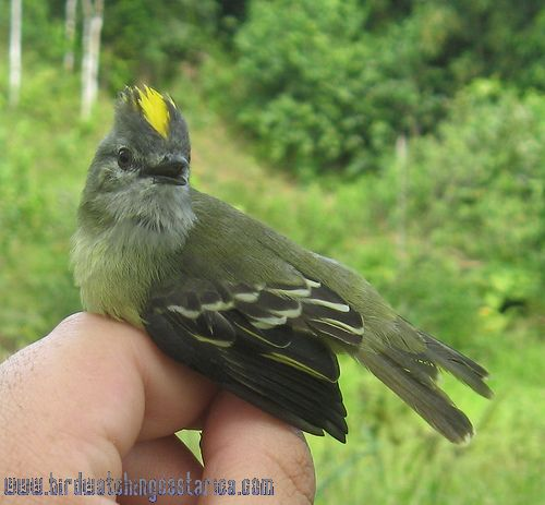 [:en]Bird Yellow-crowned Tyrannulet[:es]Ave Mosquerito Coroniamarillo[:]