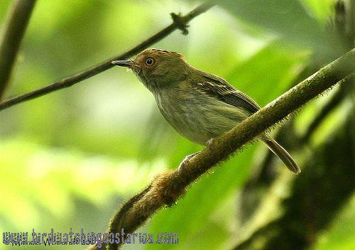 [:en]Bird Scale-crested Pygmy-Tyrant[:es]Ave Mosquerito de Yelmo[:]