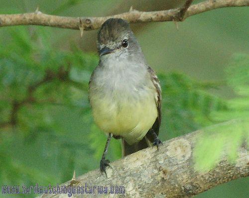 [:en]Bird Northern Scrub-Flycatcher[:es]Ave Mosquerito Matorralero Norteño[:]