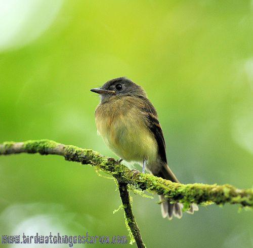 [:en]Bird Tawny-crested Flycatcher[:es]Ave Mosquerito Pechileonado[:]
