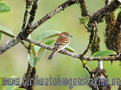 [:en]Bird Bran-colored Flycatcher[:es]Ave Mosquerito Pechirrallado[:]