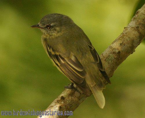 [:en]Bird Rough-legged Tyrannulet[:es]Ave Mosquerito Picocurvo[:]
