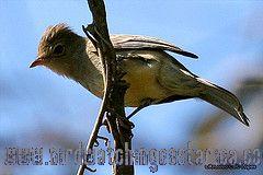 [:en]Bird Southern Beardless-Tyranulet[:es]Ave Mosquerito Silbador[:]