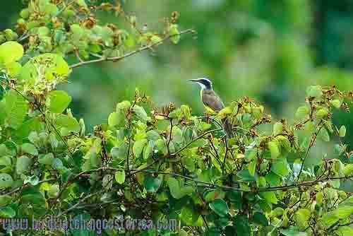 [:en]Bird White-ringed Flycatcher[:es]Ave Mosquero Cabecianillado[:]