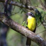[:en]Bird Social Flycatcher[:es]Ave Mosquero Cejiblanco[:]