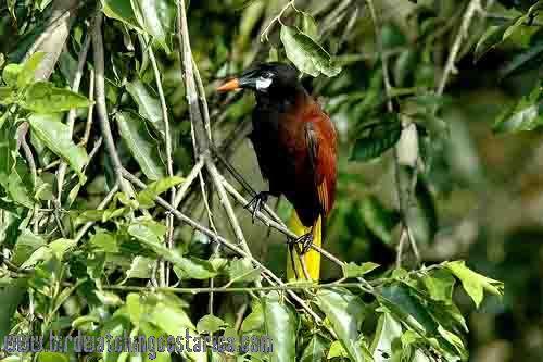 [:en]Bird Montezuma Oropendola[:es]Ave Oropéndola de Moctezuma[:]