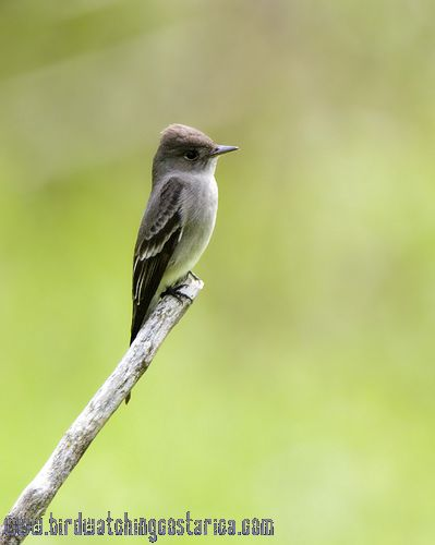 [:en]Bird Western Wood-Pewee[:es]Ave Pibí Occidental[:]