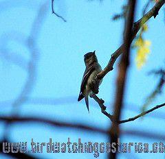 [:en]Bird Eastern Wood-Pewee[:es]Ave Pibí Oriental[:]