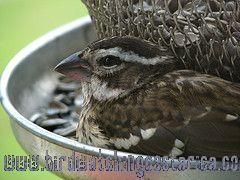 [:en]Bird Rose-breasted Grosbeak[:es]Ave Picogrueso Pechirrosado[:]