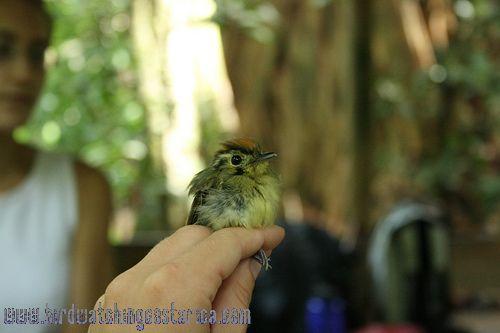 [:en]Bird Golden-crowned Spadebill[:es]Ave Piquichato Coronirufo[:]
