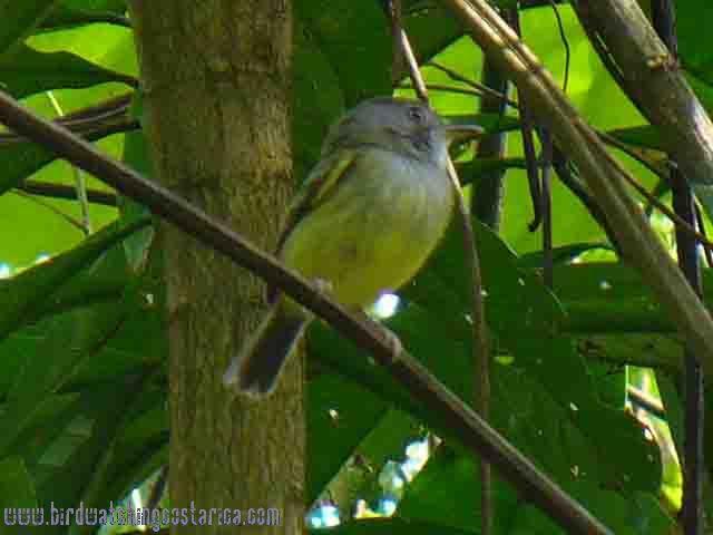 [:en]Bird Northern Bentbill[:es]Ave Piquitorcido Norteño[:]
