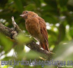 [:en]Bird Rufous Mourner[:es]Ave Plañidera Rojiza[:]