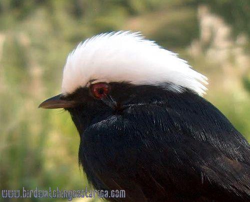 [:en]Bird White-crowned Manakin[:es]Ave Saltarín Coroniblanco[:]