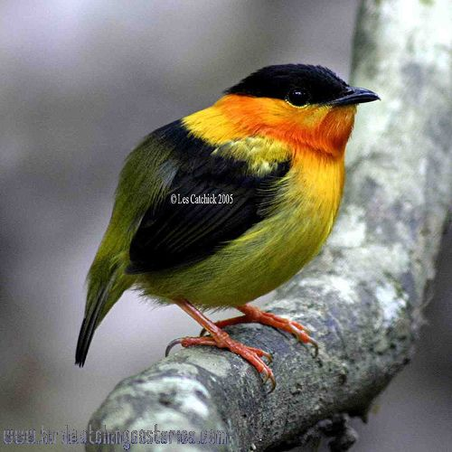 [:en]Bird Orange-collared Manakin[:es]Ave Saltarín Cuellinaranja[:]