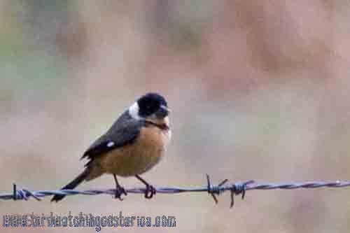 [:en]Bird Black-throated Wren[:es]Ave Soterrey Gorginegro[:]