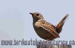 [:en]Bird Sedge Wren[:es]Ave Soterrey Sabanero[:]