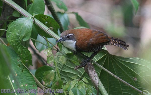 [:en]Bird Black-bellied Wren[:es]Ave Soterrey Vientrinegro[:]