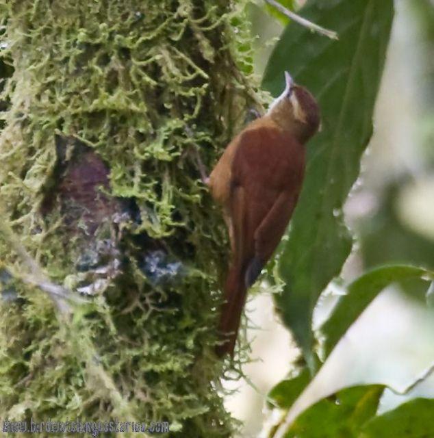 [:en]Bird Ruddy Treerunner[:es]Ave Subepalo Rojizo[:]