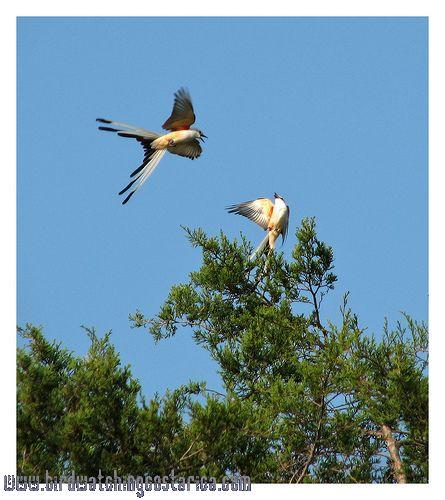 [:en]Bird Scissor-tailed Flycatcher[:es]Ave Tijereta Rosada[:]
