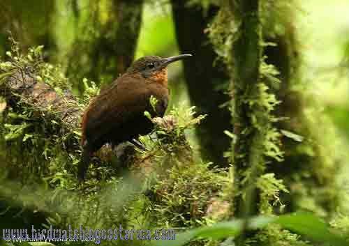 [:en]Bird Tawny-throated Leaftosser[:es]Ave Tirahojas Pechirrufo[:]