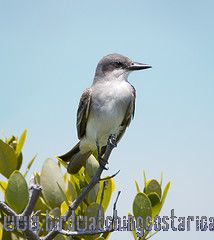 [:en]Bird Gray Kingbird[:es]Ave Tirano Gris[:]