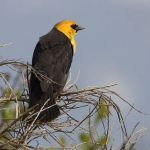 [:en]Bird Yellow-headed Blackbird[:es]Ave Tordo Cabecidorado[:]