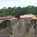 [:en]Bird Red-breasted Blackbird[:es]Ave Tordo Pechirrojo[:]