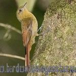 [:en]Bird Olivaceous Woodcreeper[:es]Ave Trepador Aceitunado[:]