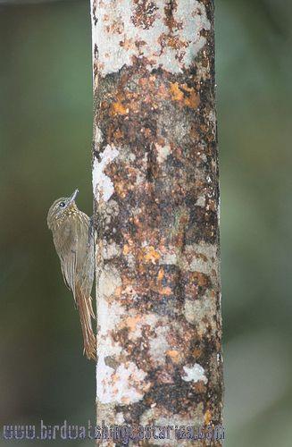 [:en]Bird Wedge-billed Woodcreeper[:es]Ave Trepador Pico de Cuña[:]