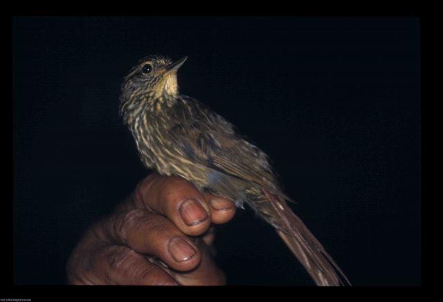 [:en]Bird Lineated Foliage-gleaner[:es]Ave Trepamusgo Lineado[:]