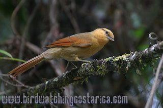 [:en]Bird Striped Woodhunter[:es]Ave Trepamusgo Rayado[:]