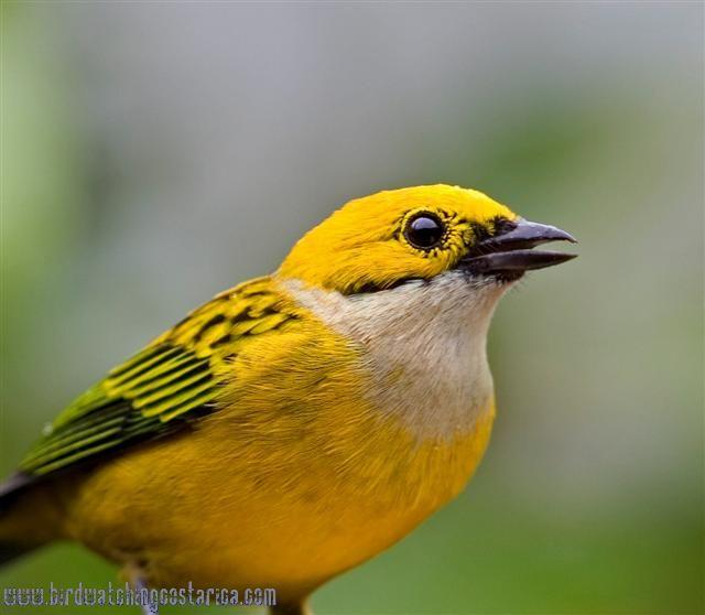 [:en]Bird Silver-throated Jay[:es]Ave Urraca Gorgiplateada[:]