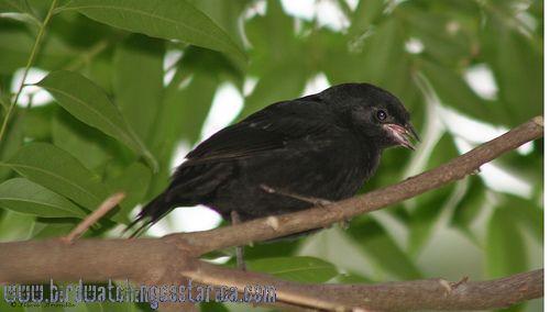 [:en]Bird Shiny Cowbird[:es]Ave Vaquero Mirlo[:]