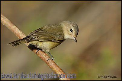 [:en]Bird Warbling Vireo[:es]Ave Vireo Canoro[:]