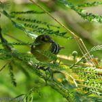 [:en]Bird Mangrove vireo[:es]Ave Vireo de Manglar[:]