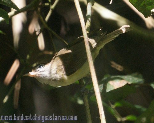 [:en]Bird Brown-capped Vireo[:es]Ave Vireo Montañero[:]