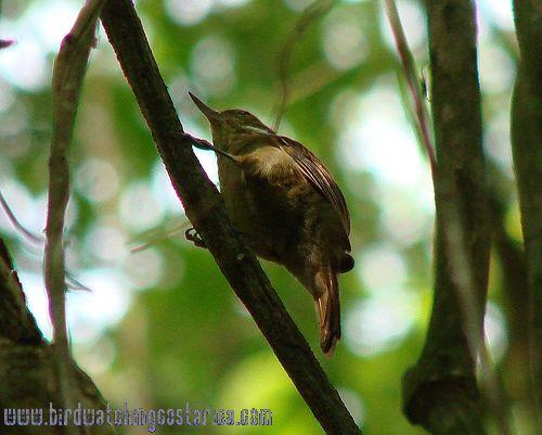 [:en]Bird Plain Xenops[:es]Ave Xenops Común[:]