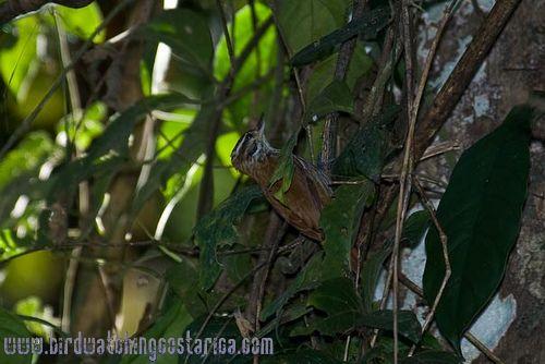 [:en]Bird Streaked Xenops[:es]Ave Xenops Rayado[:]