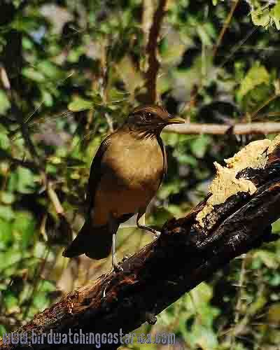 [:en]Bird Clay-colored Robin[:es]Ave Yigüirro[:]