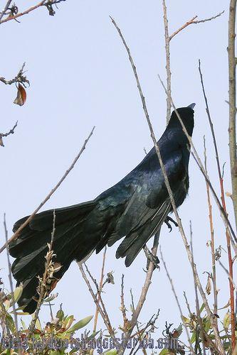 [:en]Bird Great-tailed Grackle[:es]Ave Zanate Grande[:]