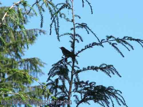 [:en]Bird Swainson´s Thrush[:es]Ave Zorzal de Swainson[:]