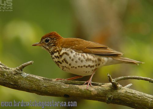 [:en]Bird Wood Thrush[:es]Ave Zorzal del Bosque[:]