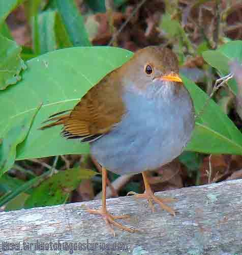 [:en]Bird Orange-billed Nightingale-Thrush[:es]Ave Zorzal Piquianaranjado[:]