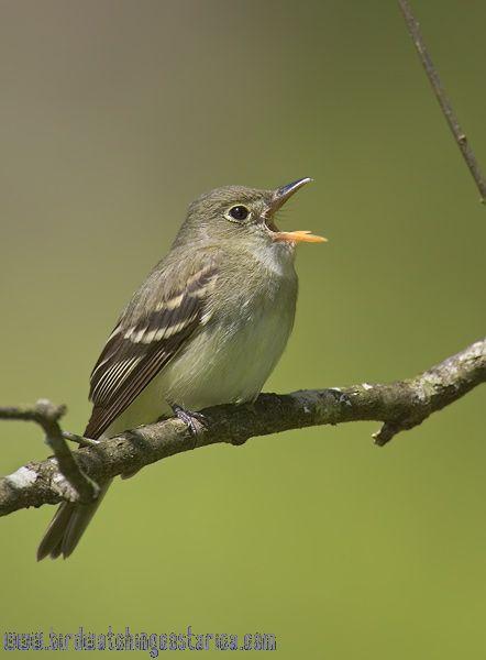 [:en]Bird Acadian Flycatcher[:es]Ave Mosquerito Verdoso[:]