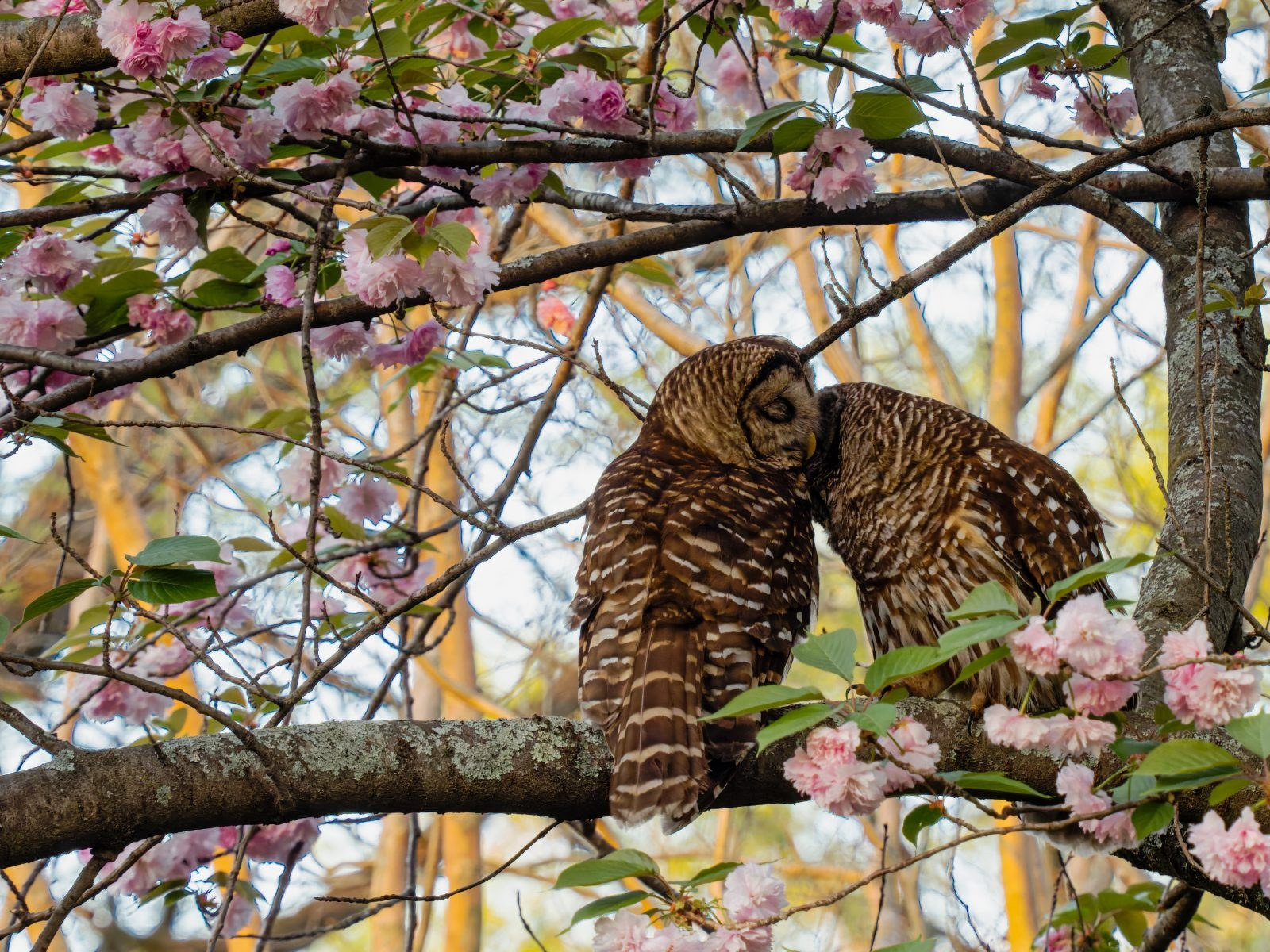 Barred Owls by Steve Rushing