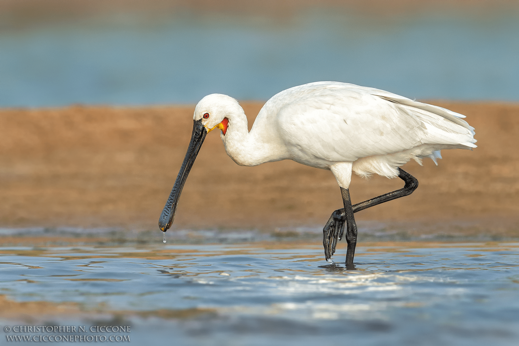 Eurasian Spoonbill By Christopher Ciccone