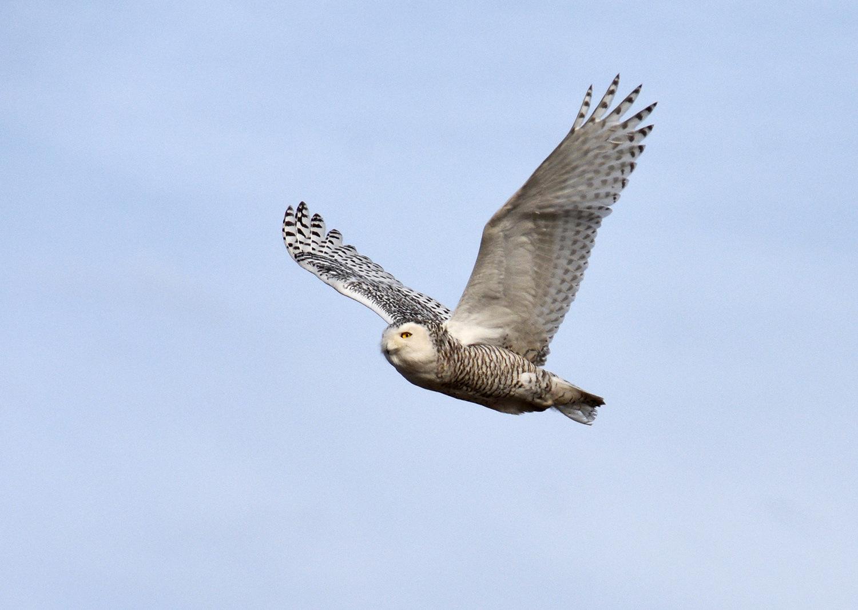 Snowy Owl by Cassie Dahl