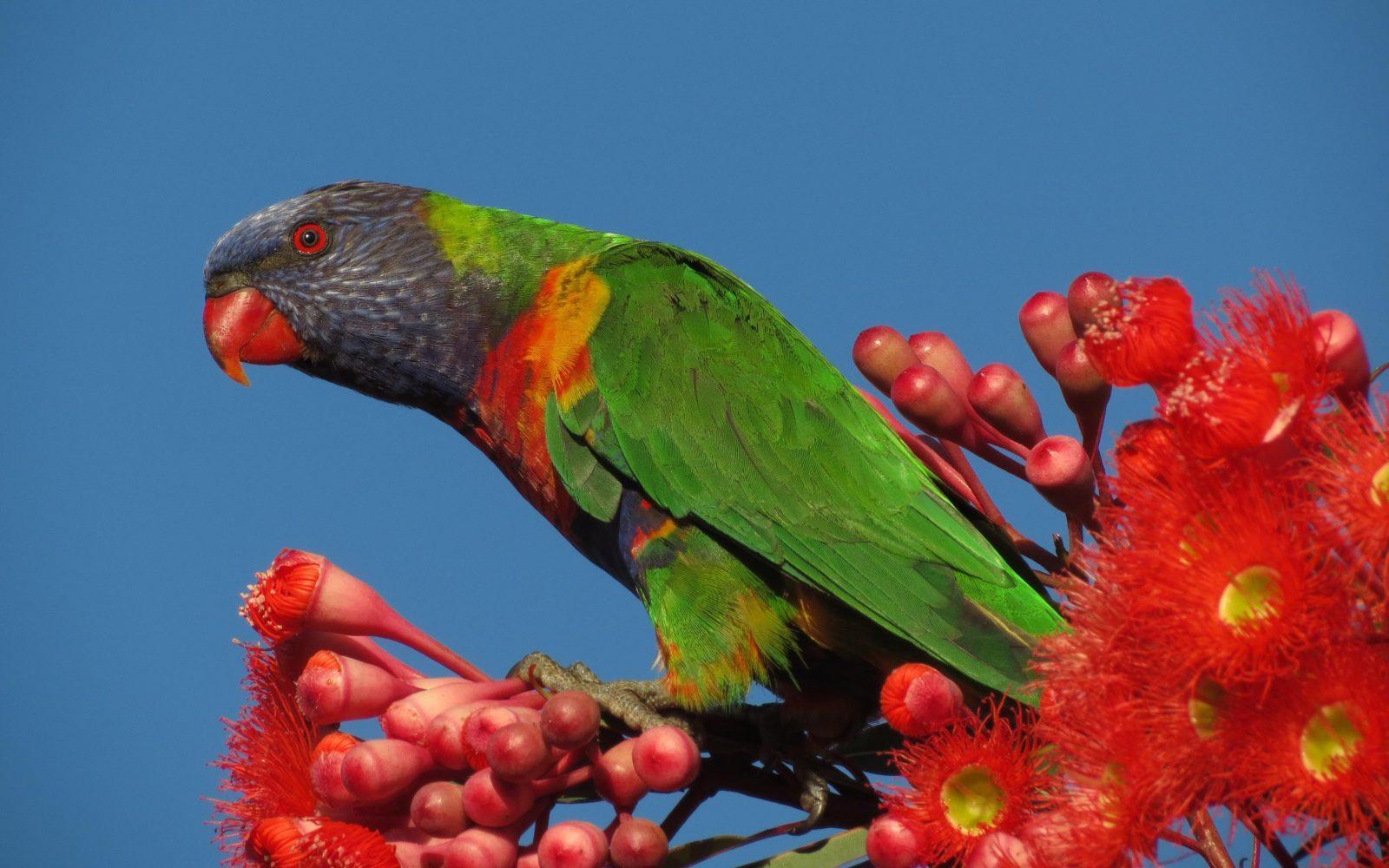 Rainbow Lorikeet by Ann Somerville-Charles