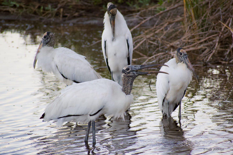 Wood Storks by John Frazier